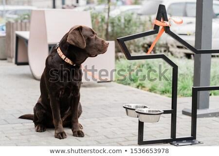 Cute marrón labrador sesión aire libre dos Foto stock © pressmaster