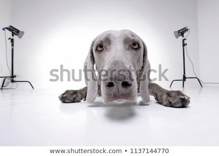 Széles látószögű portré imádnivaló stúdiófelvétel izolált fehér Stock fotó © vauvau