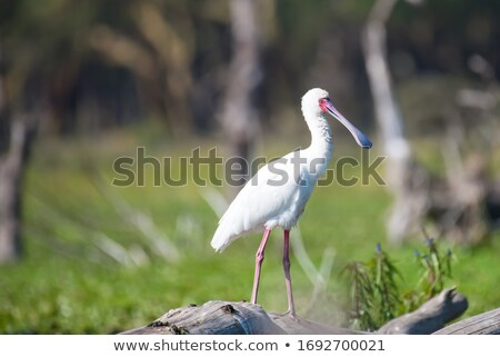 African spoonbill bird Stock photo © photoblueice