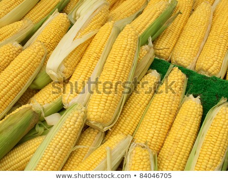 Lots of colorful sweetcorn corn cobs close up. Stock photo © latent