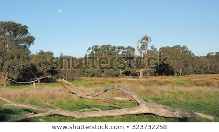 Australian countryside gum trees and blue sky Stock photo © sherjaca