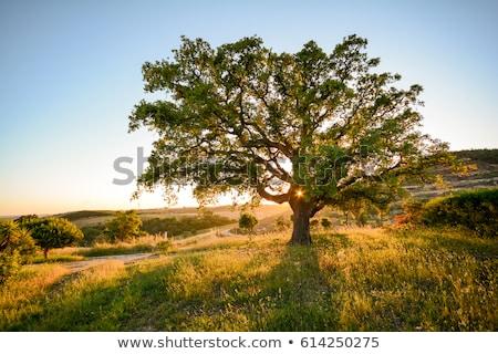 Zdjęcia stock: Korka · dąb · Portugalia · drzewo · charakter · roślin