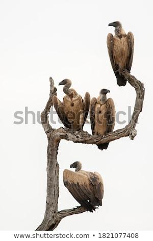 гриф сидят полюс ждет молятся дерево Сток-фото © Alvinge
