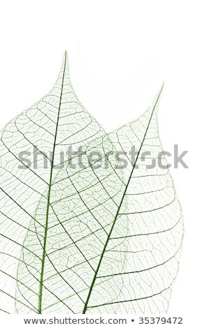 Gomma impianto foglia verde vene macro natura Foto d'archivio © Mikko