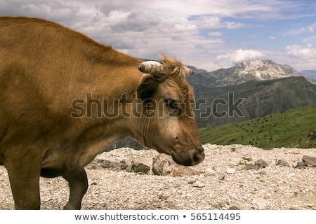 Barna szabad magas alpesi testtartás fű Stock fotó © Antonio-S