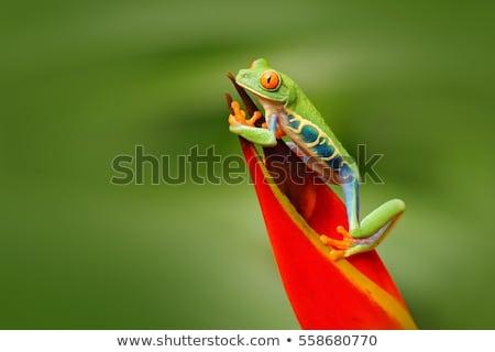 Tavuskuşu kurbağa içinde bitki Stok fotoğraf © macropixel
