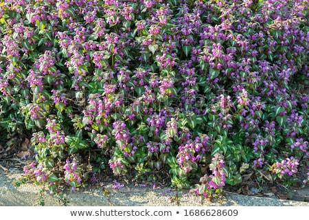 Purple dead nettle flower Stock photo © doupix