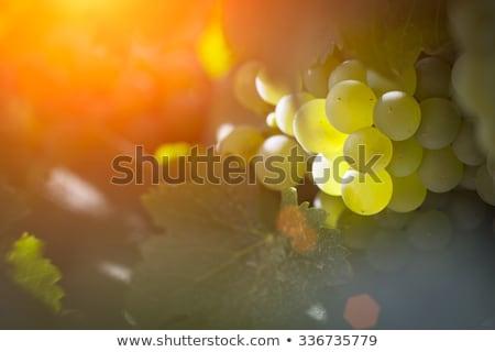 Lussureggiante bianco uva vigneto mattina sole Foto d'archivio © feverpitch