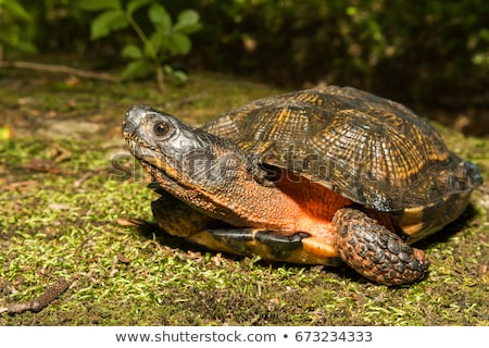 turtle in the wood stock photo © mady70