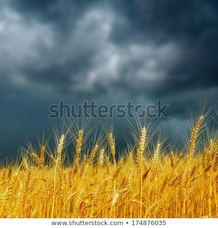 Foto stock: Ouro · orelhas · trigo · dramático · céu · macio