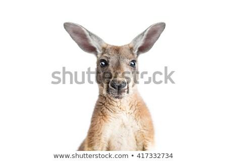 Australian kangaroo isolated on a white background Stock photo © pzaxe
