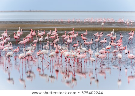 flamingo · uçan · Namibya · kuş · uçuş · su - stok fotoğraf © imagex