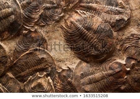 Kövület öreg szürke kő hal óceán Stock fotó © jonnysek