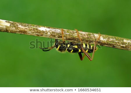 Wesp kever natuur zwarte Stockfoto © suerob