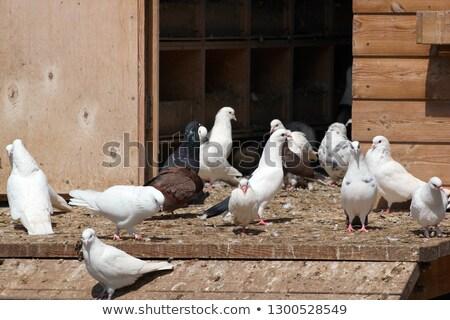 witte · duif · kooi · vergadering · top - stockfoto © konturvid