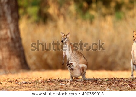 Behendig vrouwelijke park noordelijk gebied Australië Stockfoto © EcoPic