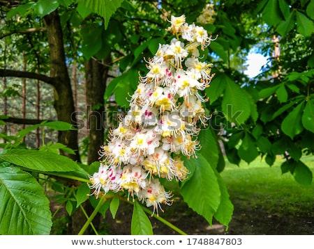 Witte kastanje bloem tak blauwe hemel hemel Stockfoto © vapi