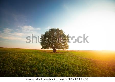 Egyedüli fa ködös naplemente napfelkelte vektor Stock fotó © Binkski