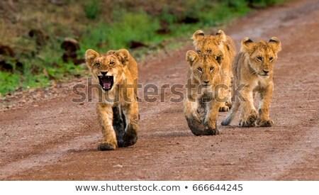 Stok fotoğraf: Baby Lions In Masai Mara National Park