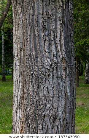 Old tree trunk crust Stock photo © stevanovicigor