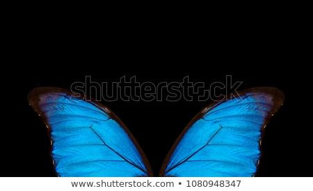 morpho butterfly in the dark Stock photo © blackmoon979