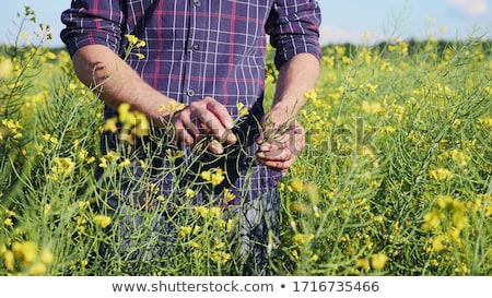 Farmer examining rapeseed blooming plants Stock photo © stevanovicigor