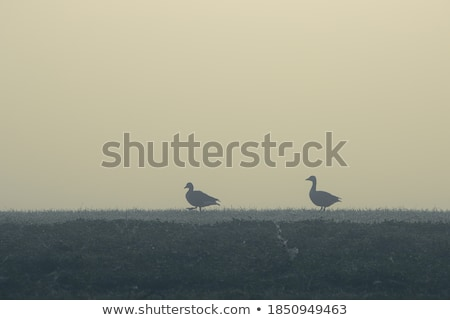 two geese in a misty park stock photo © hofmeester