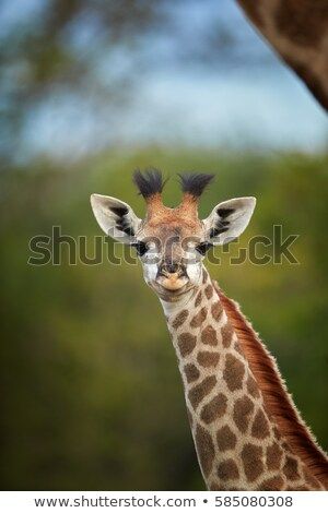 Genç zürafa arkasında park gökyüzü Afrika Stok fotoğraf © simoneeman