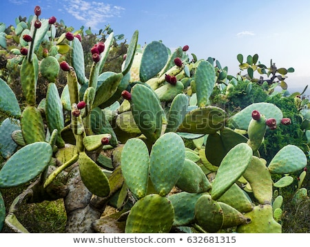desert field with cactus plants stock photo © bluering