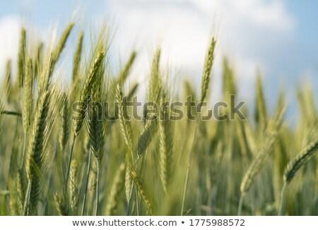 Zöld búzamező bokeh mezőgazdaság gabonapehely aratás Stock fotó © romvo