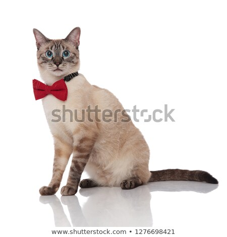 side view of gentleman burmese cat sitting Stock photo © feedough