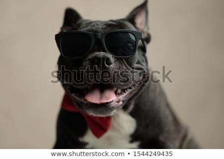french bulldog with red bowtie and black sunglasses Stock photo © feedough