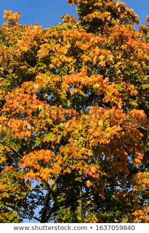 Red leaves of ornamental Maple tree, Acer, under the sun Stock photo © AlessandroZocc