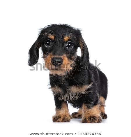 Super cute klein teckel naar groot Stockfoto © CatchyImages