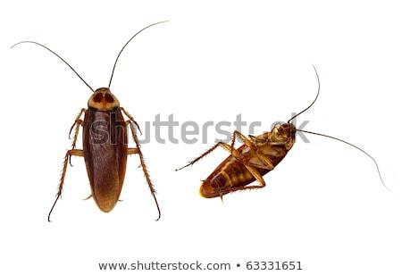 Dos aislado cucaracha blanco insectos no Foto stock © Ansonstock