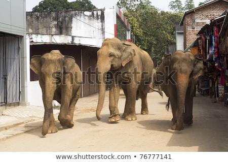 Elephants on the srtreet Stock photo © joyr
