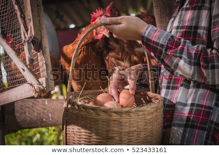 Woman gathering fresh hen eggs Stock photo © photography33