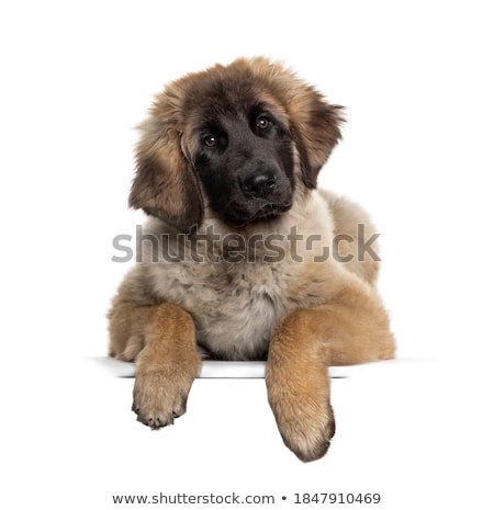 dog with empty boar Stock photo © Witthaya