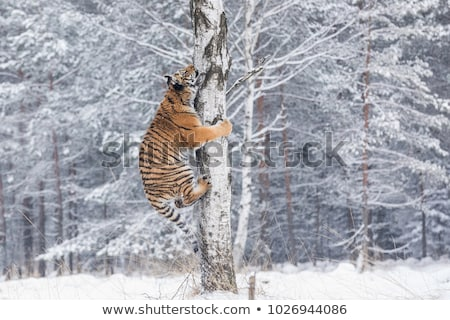 Tiger (Panthera tigris) and snow Stock photo © ajlber