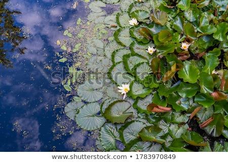 Foto stock: água · lírios · botânico · jardins