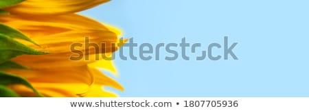 подсолнечника синий углу природы фон лет Сток-фото © danielgilbey
