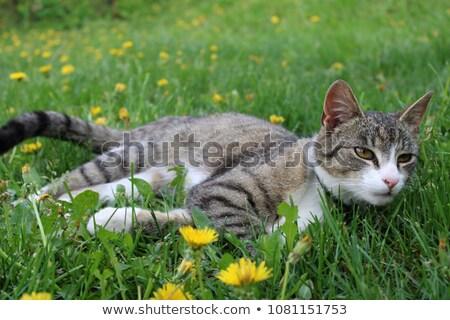 kot · polowanie · ogród · twarz · trawy · oczy - zdjęcia stock © ca2hill