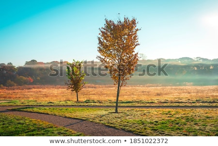 two maple trees on a foggy autumn morning stock photo © donland