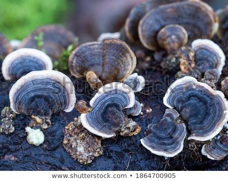 Turkeytail Fungus stock photo © suerob
