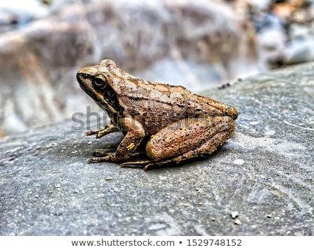 カエル · 頭 · 外に · 後ろ · 葉 - ストックフォト © ryhor