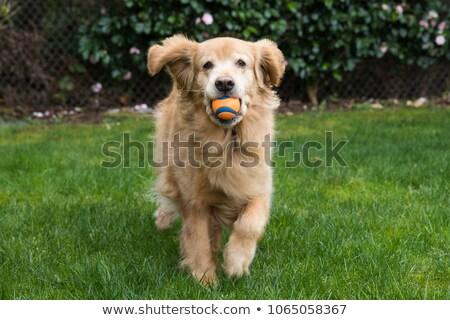 Dog Fetching Ball Stock photo © blamb