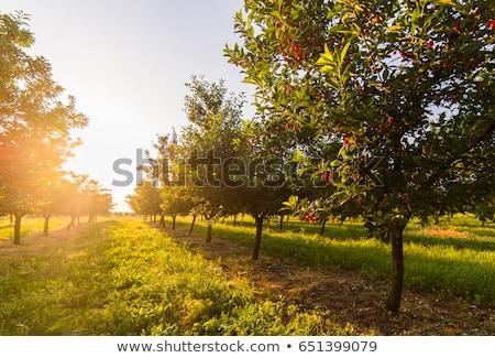 Rouge arbre fruitier faible fruits noir cerise Photo stock © MichalLudwiczak