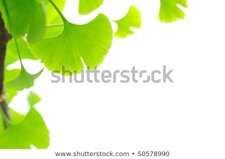 ginkgomaidenhair tree natural remedy stock photo © janpietruszka