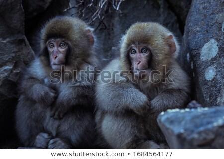 два Обезьяны зоопарке зима глаза лице Сток-фото © Paha_L