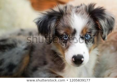 minyatür · avustralya · çoban · beyaz · köpek · siyah - stok fotoğraf © cynoclub